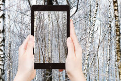 Tourist photographs of birch in winter forest Royalty Free Stock Photography