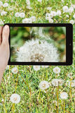Tourist photographs of dandelion blowball Stock Image