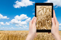 Tourist photographs ears of ripe wheat on field Stock Photos