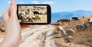 Tourist photographs flock of sheep grazing, Armenia Royalty Free Stock Photo