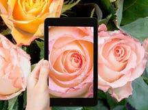 Tourist photographs of fresh wet pink rose close up Stock Photos