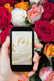 Tourist photographs of fresh wet white rose close up Stock Images