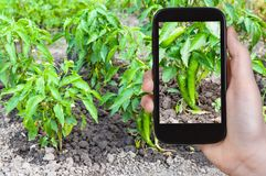 tourist photographs green chili pepper bushes royalty free stock images