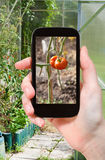 Tourist photographs of greenhouse with tomatoes Royalty Free Stock Photo