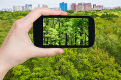 Tourist photographs oak trees in green forest Royalty Free Stock Images