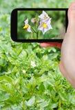 Tourist photographs of potato flowers on field Stock Photography