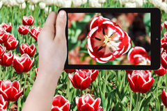 Tourist photographs of red tulip flower close up Royalty Free Stock Photos