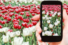 Tourist photographs of red and white tulips Royalty Free Stock Image