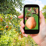 Tourist photographs of ripe pear outdoors Stock Photo