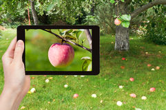 Tourist photographs of ripe pink apple Stock Photography