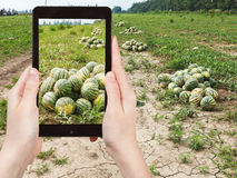Tourist photographs of ripe watermelons at field Stock Photos