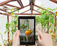 Tourist photographs of tomatoes in greenhouse Royalty Free Stock Image