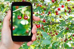 Tourist photographs of two ripe red cherry Royalty Free Stock Images