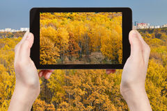 Tourist photographs of yellow autumn forest Royalty Free Stock Photography