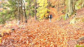 Tourist with poles and big backpack is walking by autumn footpath in leaves forest. Path leading among the beech trees. In late autumn forest stock video