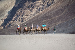 Tourist ride carmels at Hunder village in Nubra Valley. Royalty Free Stock Images