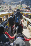 Tourist ride yak with tamer who pull and control him to walk to the mountain in winter in Tashi Delek near Gangtok. North Sikkim Stock Photography