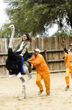Tourist riding an ostrich Royalty Free Stock Photography