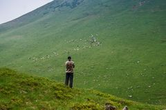 Tourist and sheep in the Carpathian mountains. Marmaros. Ukraine stock photography