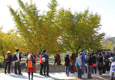 Tourist site in China. A famous tourist site with losts of old ginkgo trees ,many people visiting this site.Taken in Suizhou city of Hubei Province,China,Nov.11 Stock Photo