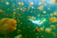Tourist snorkeling in Jellyfish Lake. Underwater photo of woman diving with endemic golden jellyfish in lake at Palau. Snorkeling in Jellyfish Lake is a popular Stock Photos