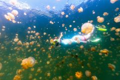 Tourist snorkeling in Jellyfish Lake. Underwater photo of tourist woman snorkeling with endemic golden jellyfish in lake at Palau. Snorkeling in Jellyfish Lake Stock Images