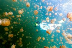 Tourist snorkeling in Jellyfish Lake. Underwater photo of tourist woman snorkeling with endemic golden jellyfish in lake at Palau. Snorkeling in Jellyfish Lake Royalty Free Stock Image