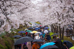 tourist In spring with cherry blossoms,Lotte World Royalty Free Stock Image