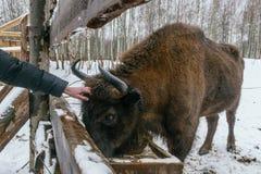 Tourist streicht europäischen Bison im Nationalpark Stockfoto