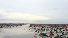 Tourist take boat visiting lake of red water lily stock video footage
