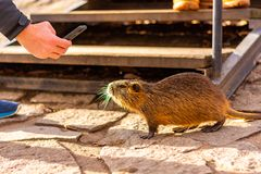 Tourist is taken photo of nutria with mobile phone. Portrait of wet river rat in city street.  stock photography