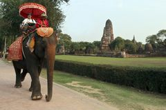 A tourist takes an elephant back ride around the ancient temples of ayuthaya royalty free stock photography