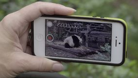 Tourist takes a iPhone video of a Panda. View of a tourist taking an iPhone video of a Panda stock video