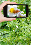 Tourist takes picture of potato flowers on field Royalty Free Stock Image
