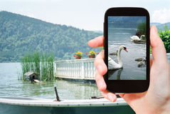 Tourist takes picture of swans in lake, Bavaria Stock Images