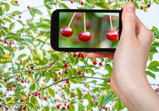 Tourist takes picture of twigs with red cherry Royalty Free Stock Photo