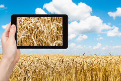 Tourist takes pictures of ears of wheat on field Stock Photos