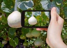 Tourist taking photo of bottle gourds on vine Stock Photos