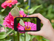 Tourist taking photo of butterfly Brimstone Stock Images