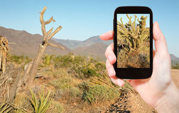 Tourist taking photo of cactus in Mojave Desert Royalty Free Stock Photo