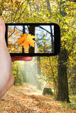 Tourist taking photo of maple leaf in autumn woods. Travel concept - tourist taking photo of maple leaf in autumn forest on mobile gadget Royalty Free Stock Images