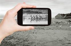 Tourist taking photo of Pelicans on Malibu beach Royalty Free Stock Image
