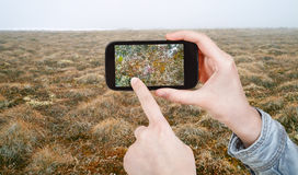 Tourist taking photo of plant in Arctic tundra Royalty Free Stock Photos