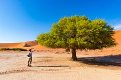 Tourist taking photo at Sossusvlei, Namibia. Scenic Acacia trees and majestic sand dunes, Namib desert, Namib Naukluft National Pa. Rk, travel adventure in Stock Image