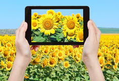 Tourist taking photo sunflower blooms and fileld Royalty Free Stock Images