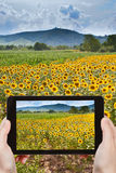 Tourist taking photo of sunflower fields in Alsace Royalty Free Stock Photography