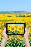 Tourist taking photo sunflower flowers Stock Photos