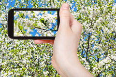 Tourist taking photo of twig of cherry blossom. Travel concept - tourist taking photo of twig of cherry blossoms and white cherry flowers on mobile gadget in Stock Photo