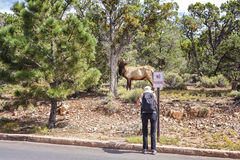 Tourist taking picture of a deer standing by a road. Stock Photography