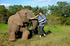 Elephant interacts with tourist. A tourist touches the tusks of a tamed trained African elephant at a game reserve in South Africa stock photo